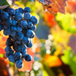 Grape Harvest Help | September & October 2019 Sign-Up